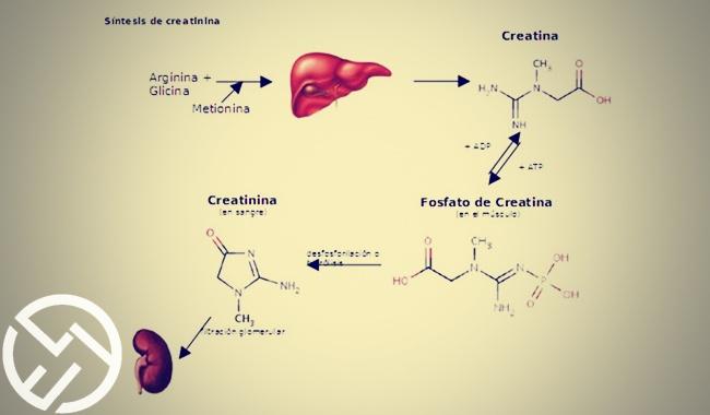 funciones de la creatinina