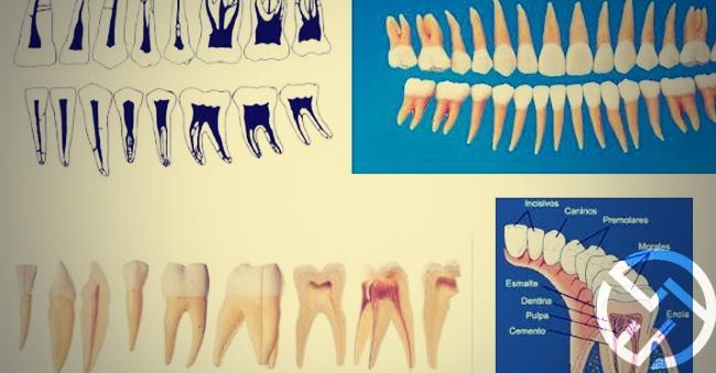 Estructura dental y anatomía de los dientes: todo lo que has de saber