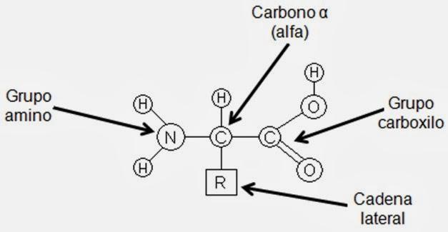 formula y estructura de aminoacidos